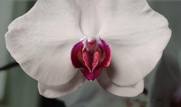Vulve-orchidée, par Yvan Meunier