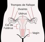 Le beau dessin. Pourquoi se donner la peine de mentionner le clitoris?